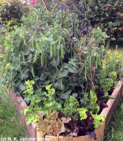 Peas and mixed lettuce polyculture